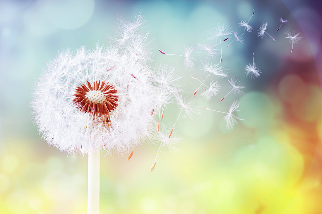 dandelion-allergy