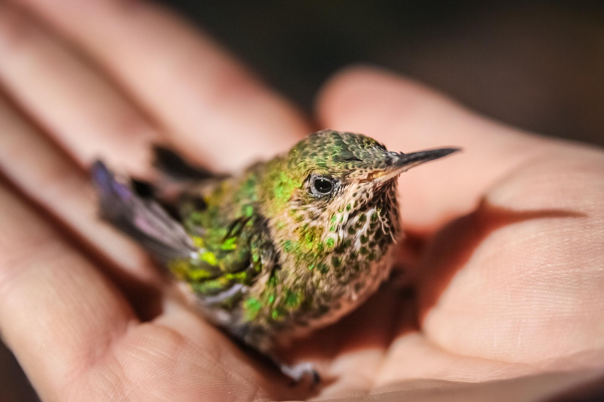 Little green hummingbird